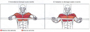bench press morphology