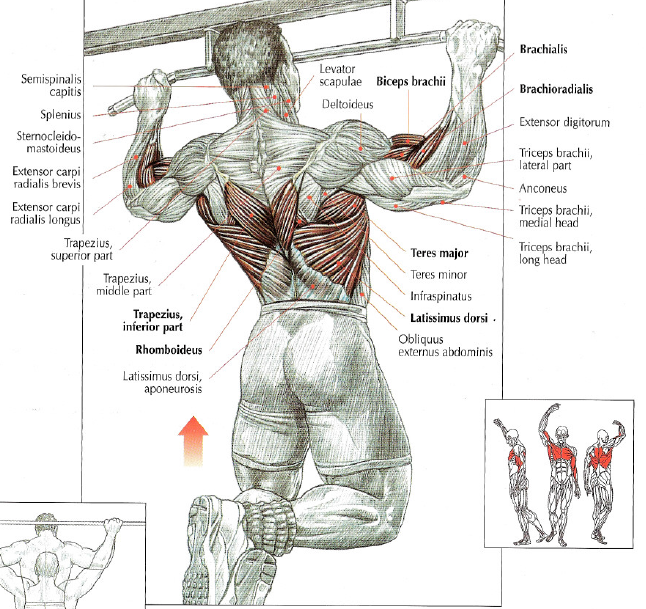 The pull-up is my all time favorite exercise. It's simple, effective and can be varied in an endless amount of ways. Pull-ups work the entire upper body, particularly the lats and other back muscles.