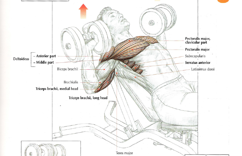 incline dumbbell press the stephane andre