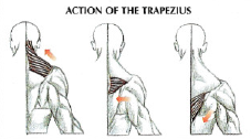 dumbbell shrugs back traps anatomy