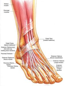 ankle morphology
