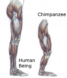 human being chimpanzee bipedalism glutes