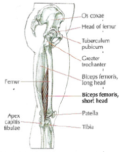 anatomy biceps femoris short head monoarticular