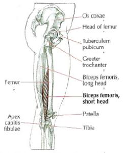 anatomy biceps femoris short head monoarticular