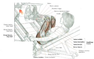 angled leg press anatomy