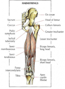 hamstings anatomy lying leg curls