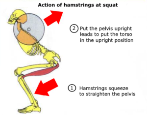 hamstring muscle anatomy tear squat