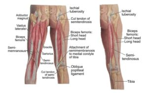 hamstring muscle anatomy tear