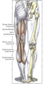 anatomy leg hamstrings leg curl