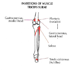insertions muscle triceps surae
