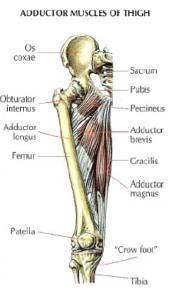 adductor muscle thigh