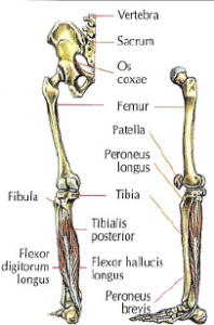 muscle involve extension foot triceps surae