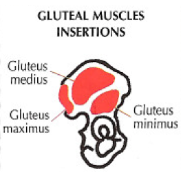gluteal msucles insertions anatomy