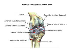 knee anatomy meniscus ligament