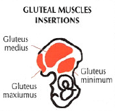 gluteal muscles iseertions