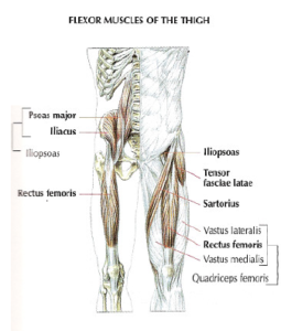 flexor muscle thigh